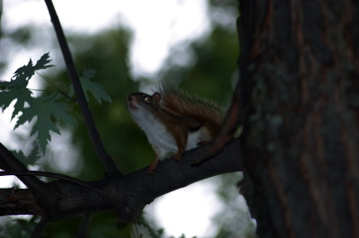 All, Squirrel, Canada, Glenburnie