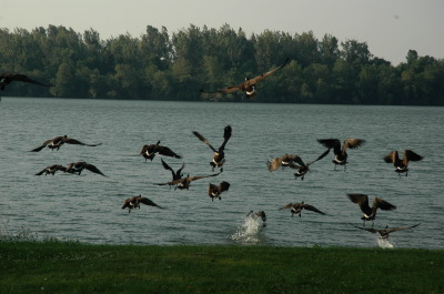 All, Birds, Canada Geese, Action, Flying, Canada, Glenburnie