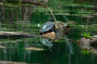 All, Reflections, Wildlife, Turtle, Green