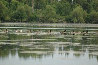 All, Birds, Wildlife, Green, Canada Geese, Reflections